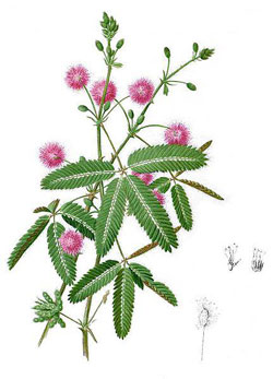 Figure 2 : Mimosa pudica, ou Sensitive.